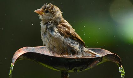 Sparrow in a Copper Bird Bath Fountain