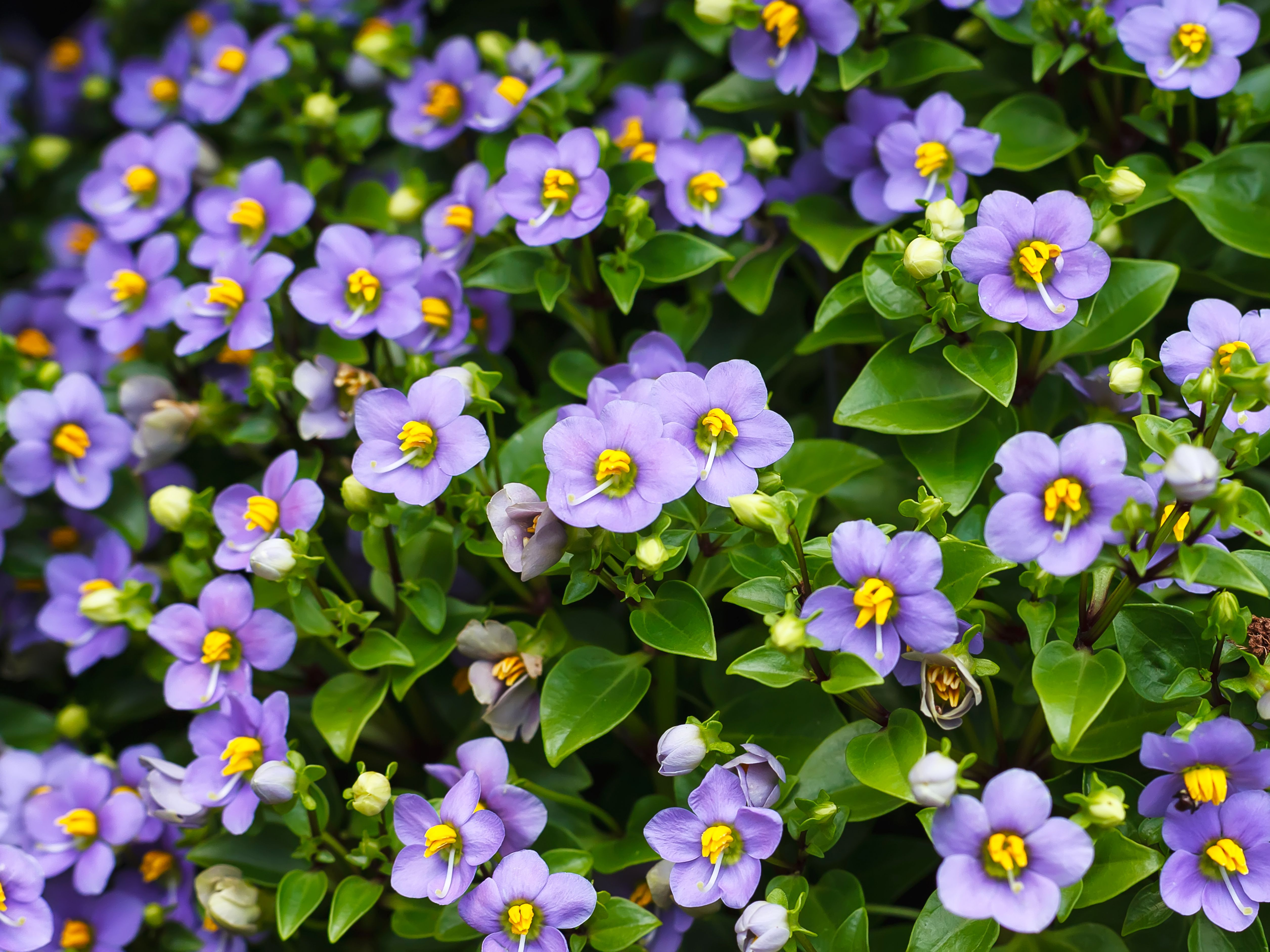 How To Grow Persian Violets Exacum