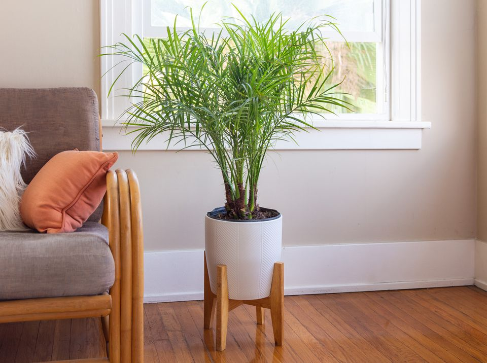 Phoenix palm next to a sofa