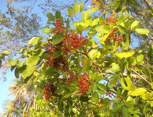 Imagen del árbol de pimiento brasileño