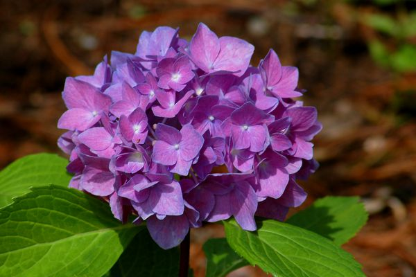 Let's Dance Rhapsody Blue hydrangea
