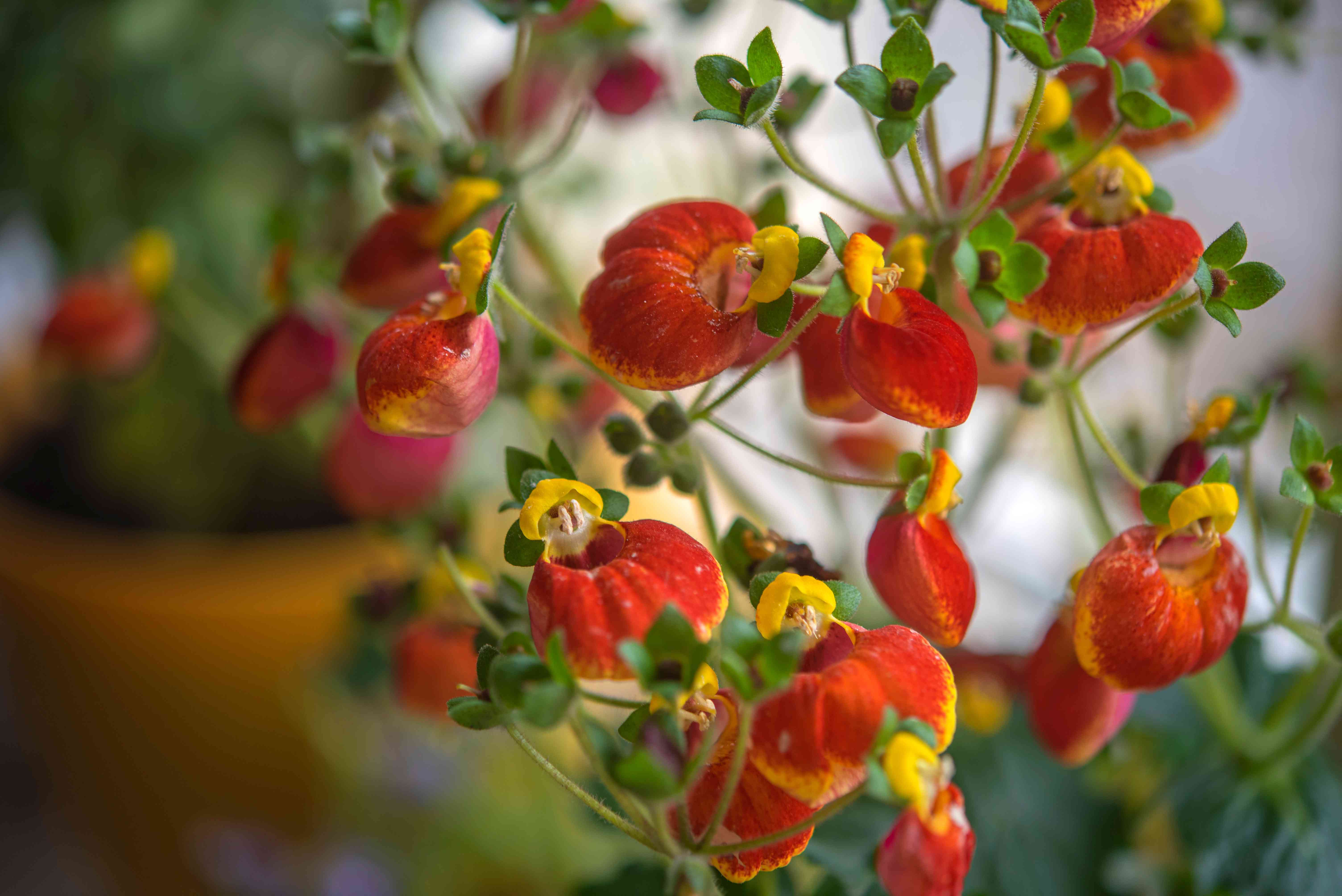 Calceolaria houseplant vines with red and yellow slipper-like flowers and buds closeup