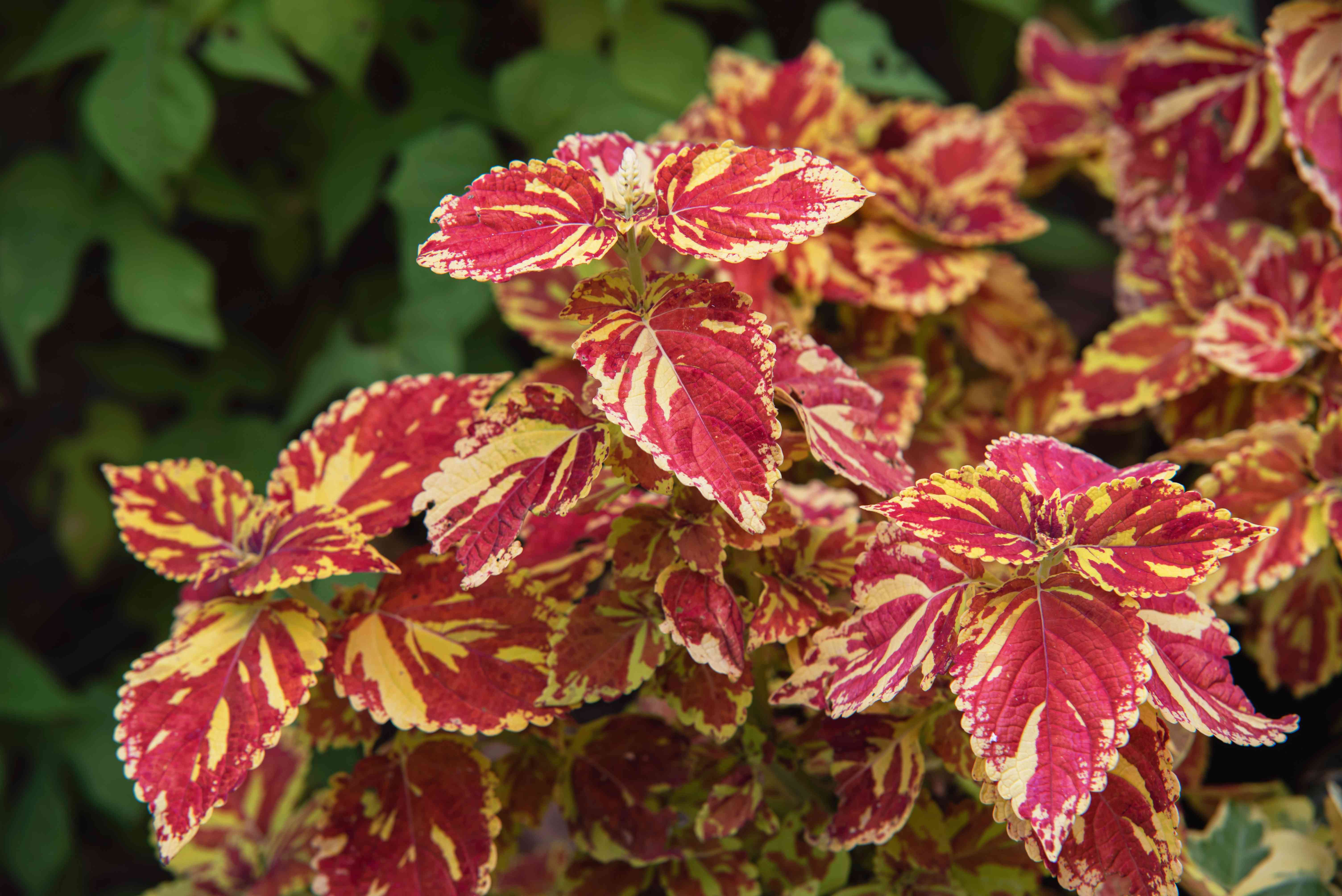 Coleus freckles with red and yellow flowers closeup