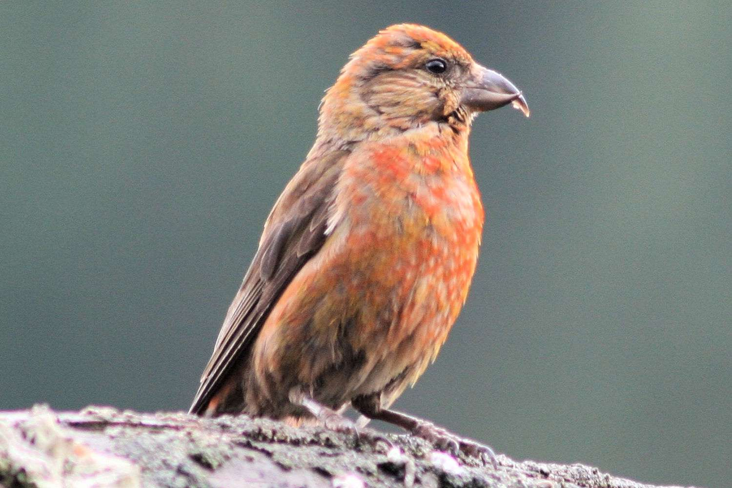Red Crossbill - Male