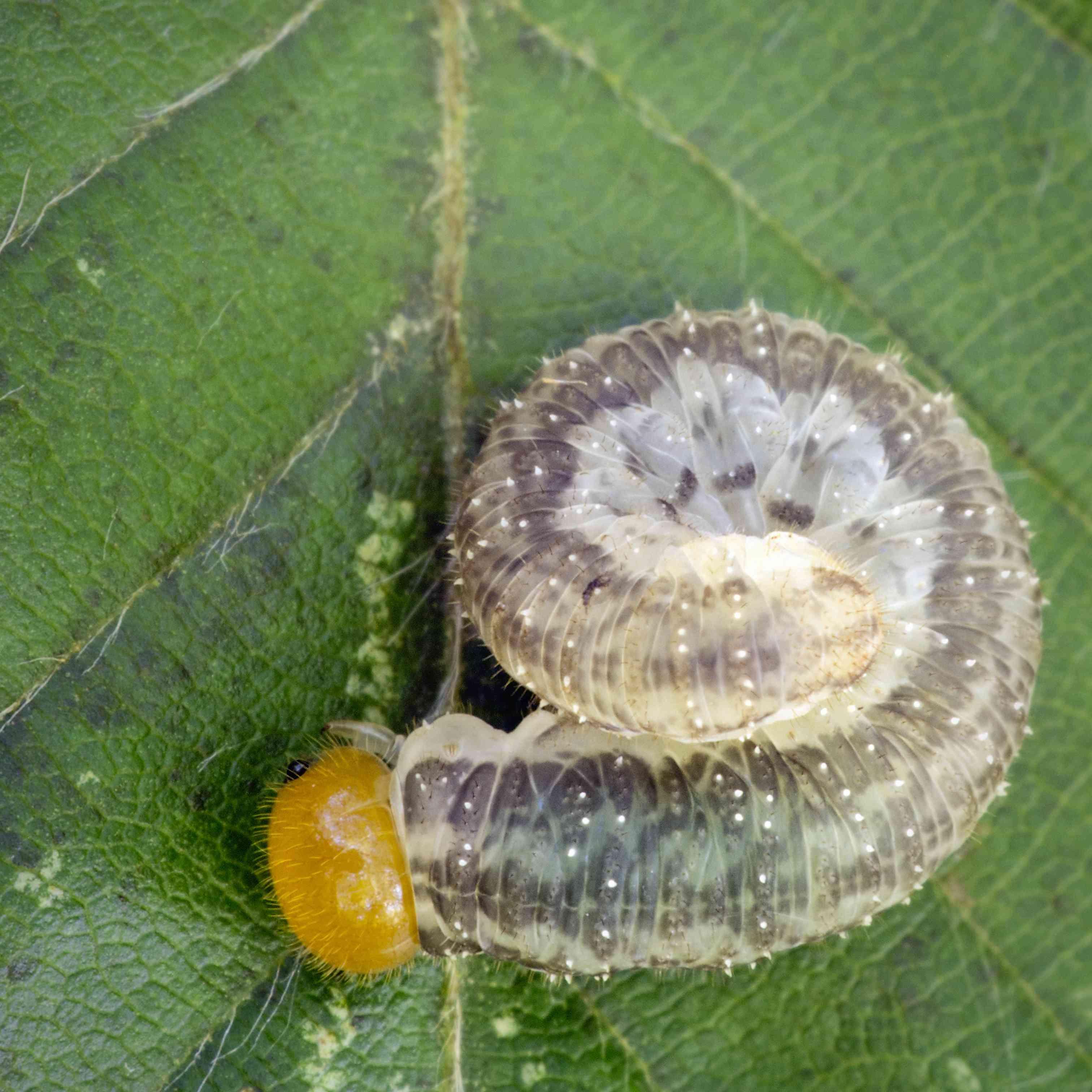 Larva (Allantus cinctus)