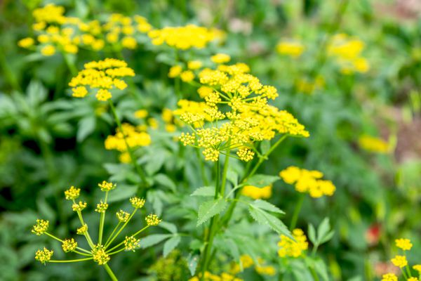 Golden alexander plant with small yellow flowers clustered in starburst form