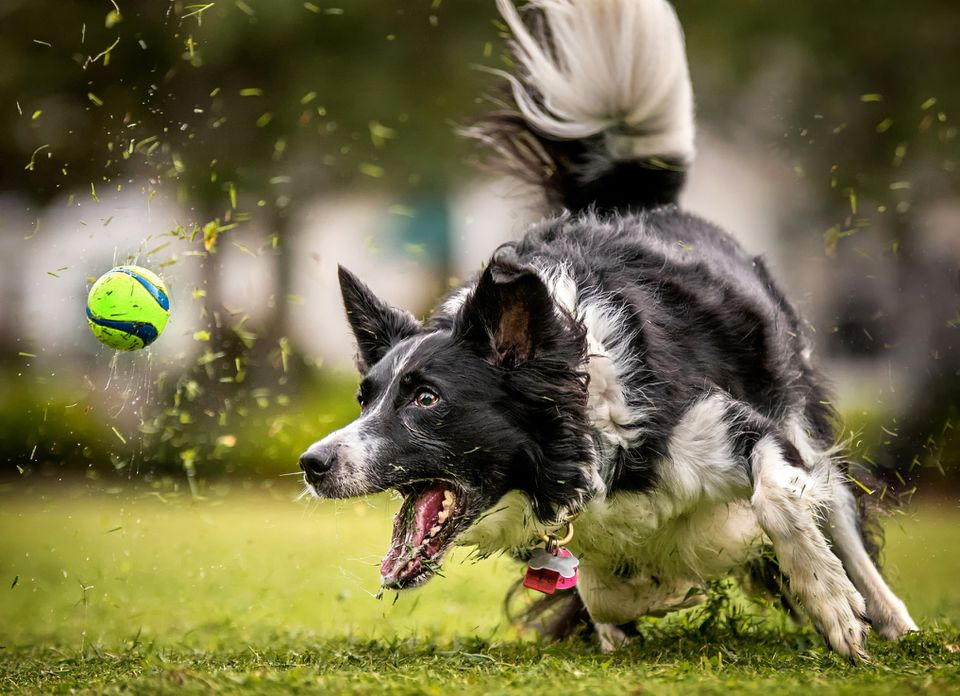 Border collie dog playing on grass, best grasses for dogs