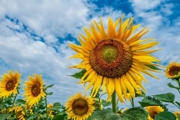 Giant sunflower head in sunflower field