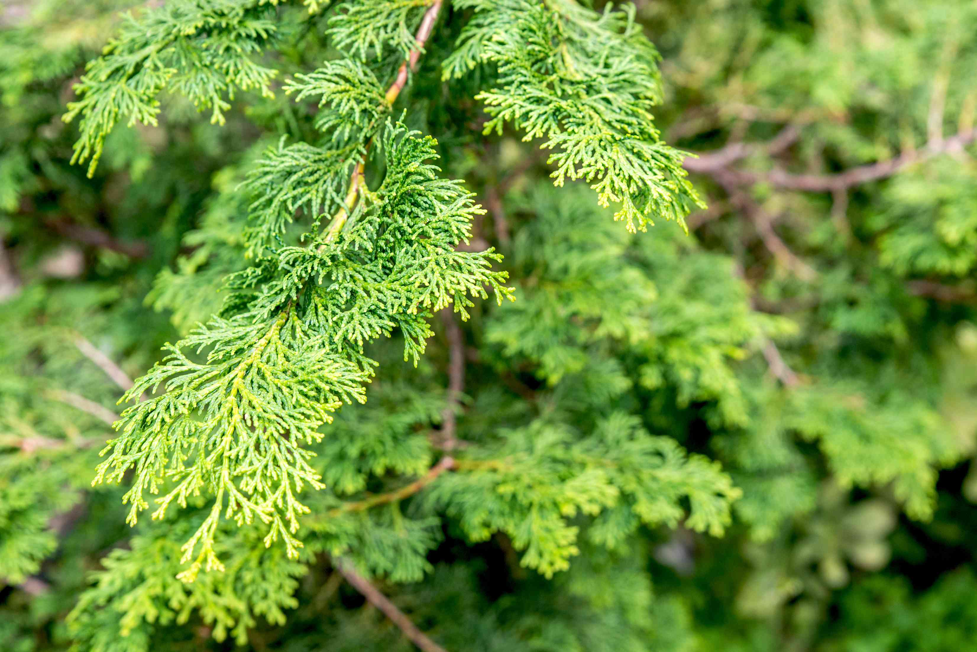 closeup of hinoki cypress tree