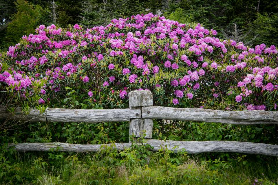 Rhododendron behind rustic fence.