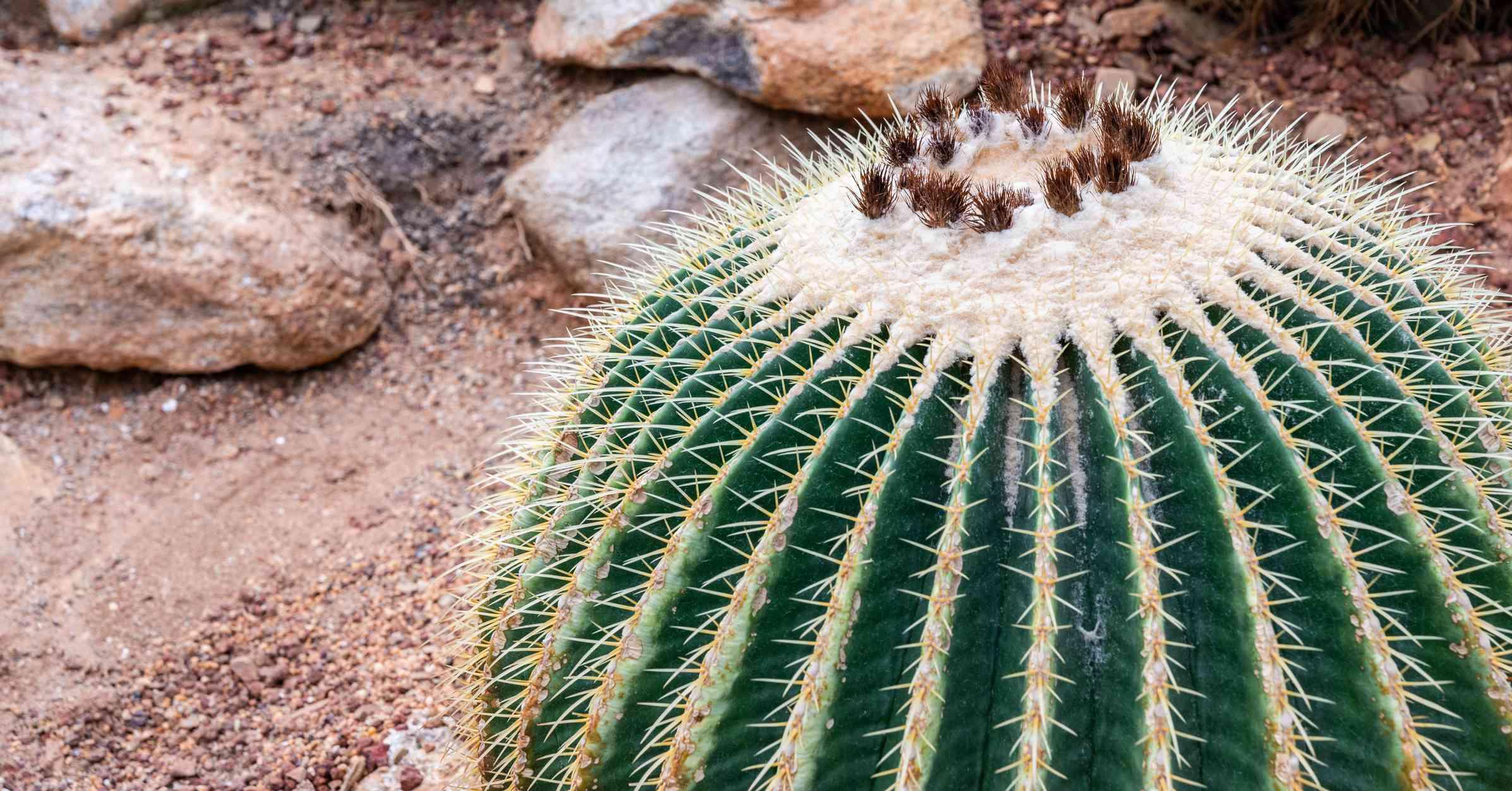 Large golden barrel cactus (Echinocactus grusonii) close up shot.