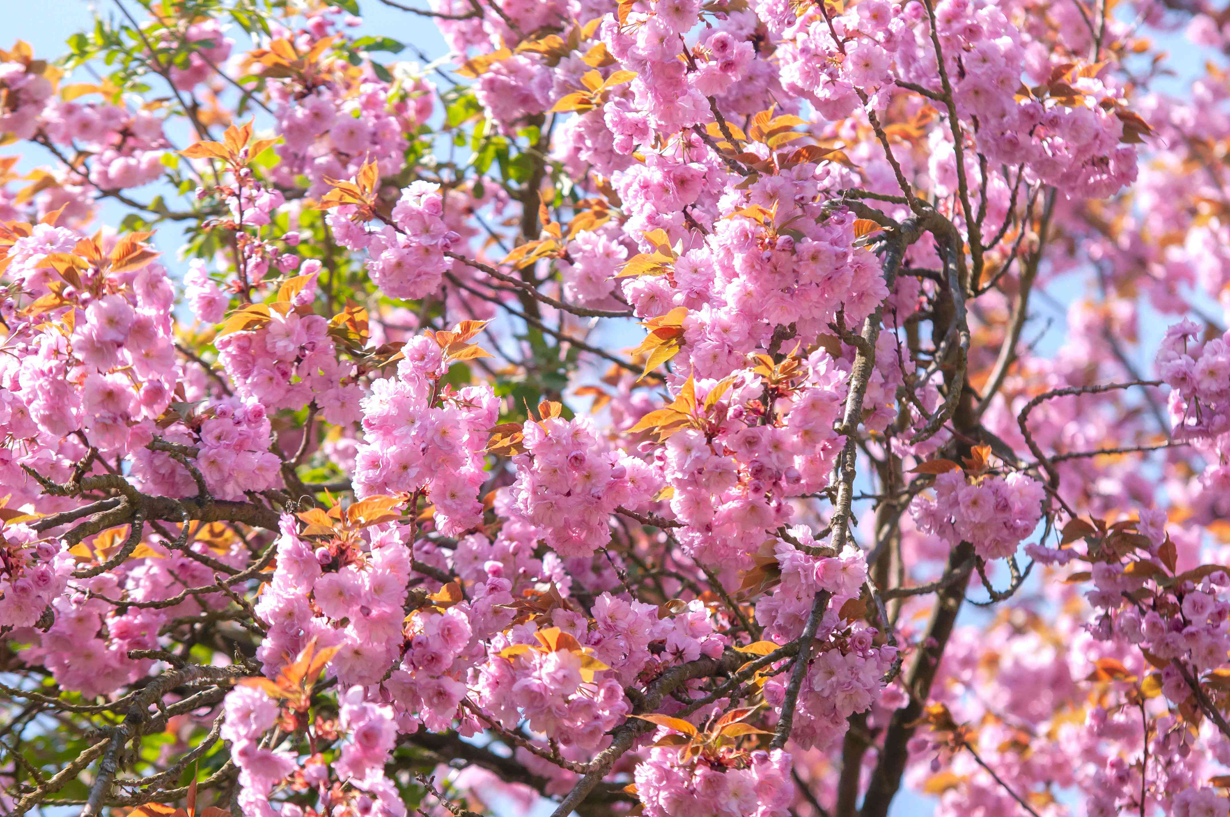 Japanese flowering cherry tree branches with pink blossom clusters with yellow leaves
