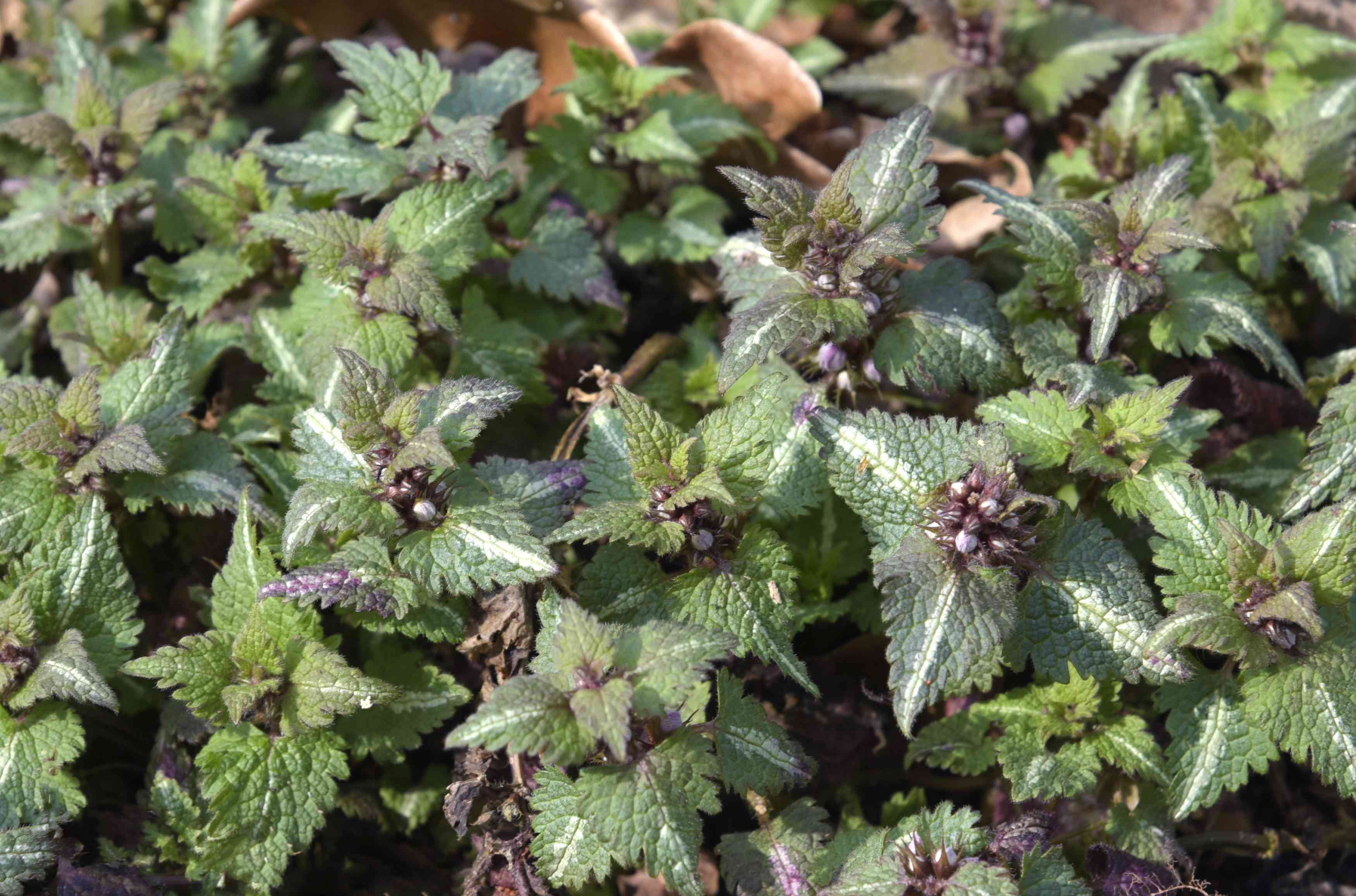 Spotted dead nettle plant with silvery-green leaves and buds on top