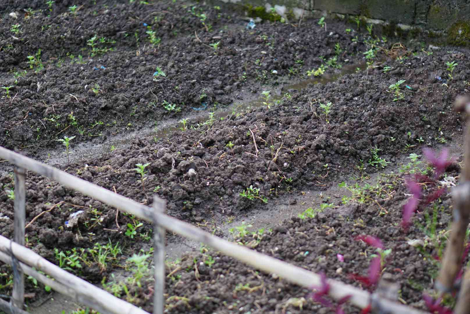 Staggered plantings of vegetables in garden