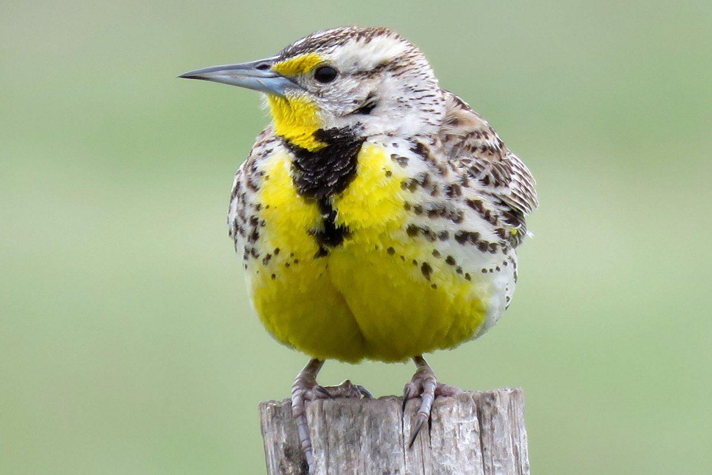 Western Meadowlark, the state bird of North Dakota, standing on a stump.