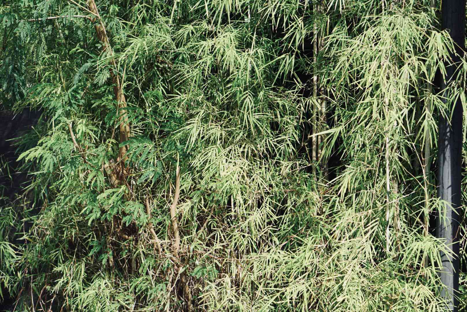 Bamboo ornamental grass with tall stems and hanging culms in sunlight