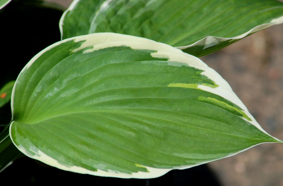Leaves of Francee hosta