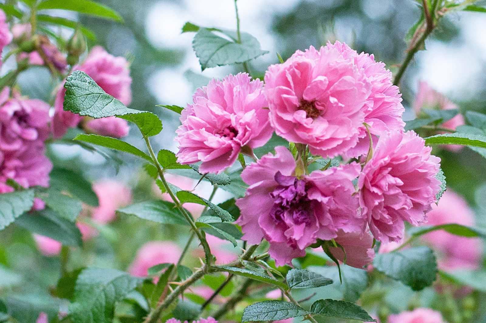 F. J. Grootendorst roses