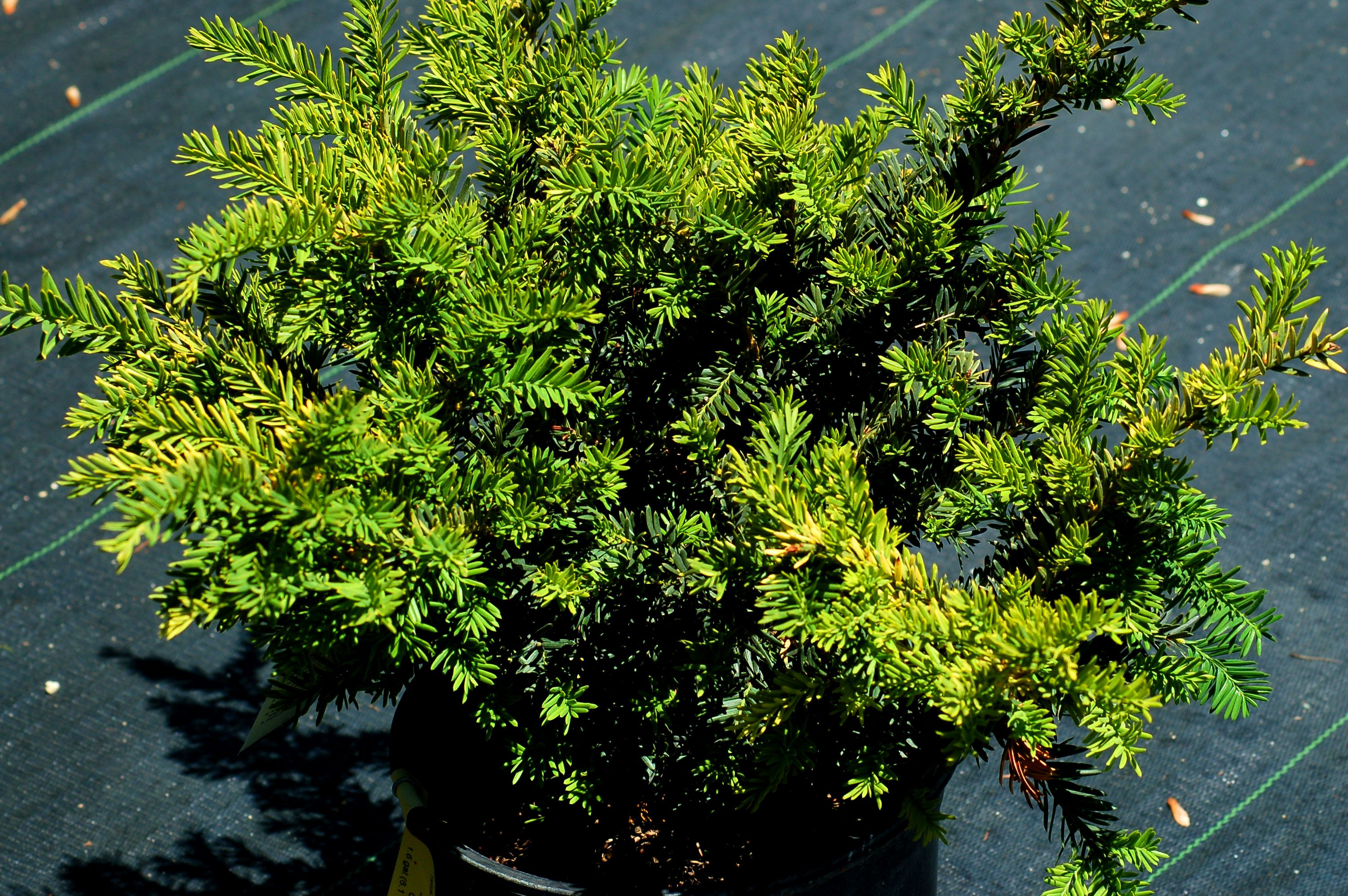 What S The Best Time To Prune Evergreen Shrubs