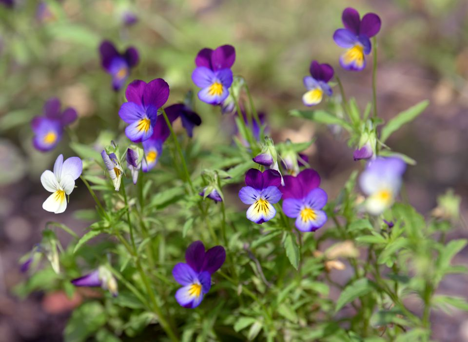 Johnny jump up violas with light and deep purple five-petal blooms with yellow centers on thin stems closeup