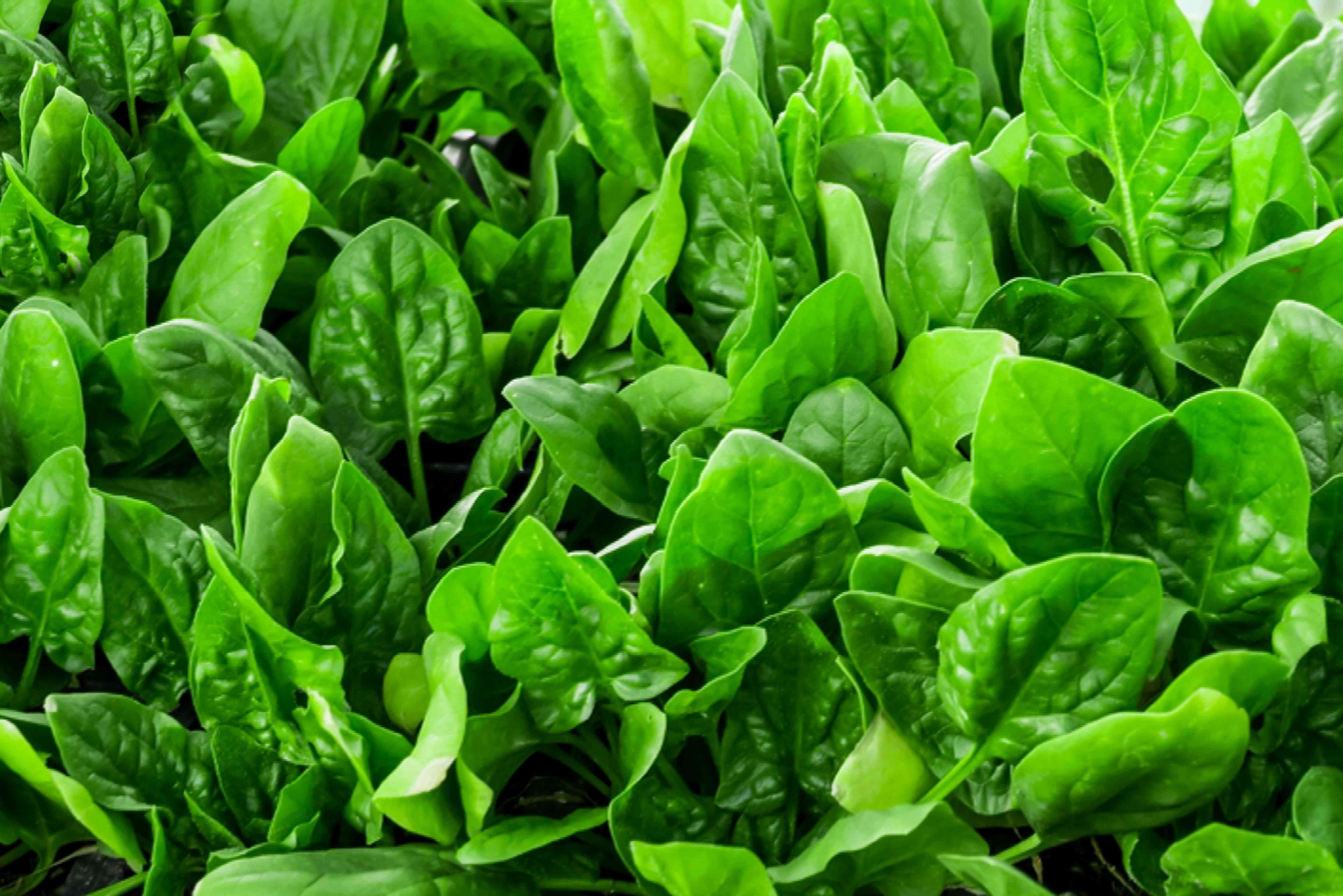 spinach growing