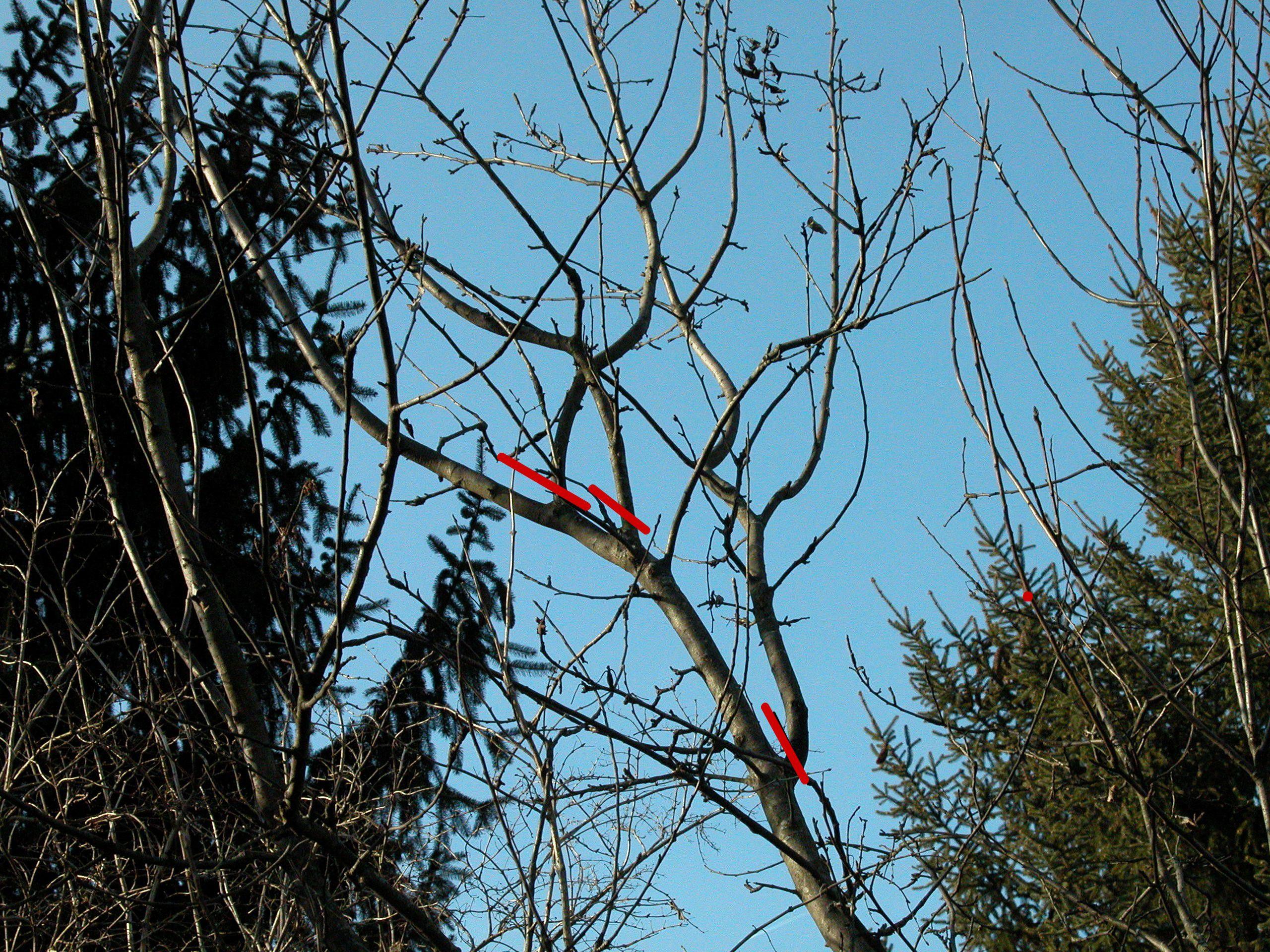 Apple Tree Pruning - Competing Leaders