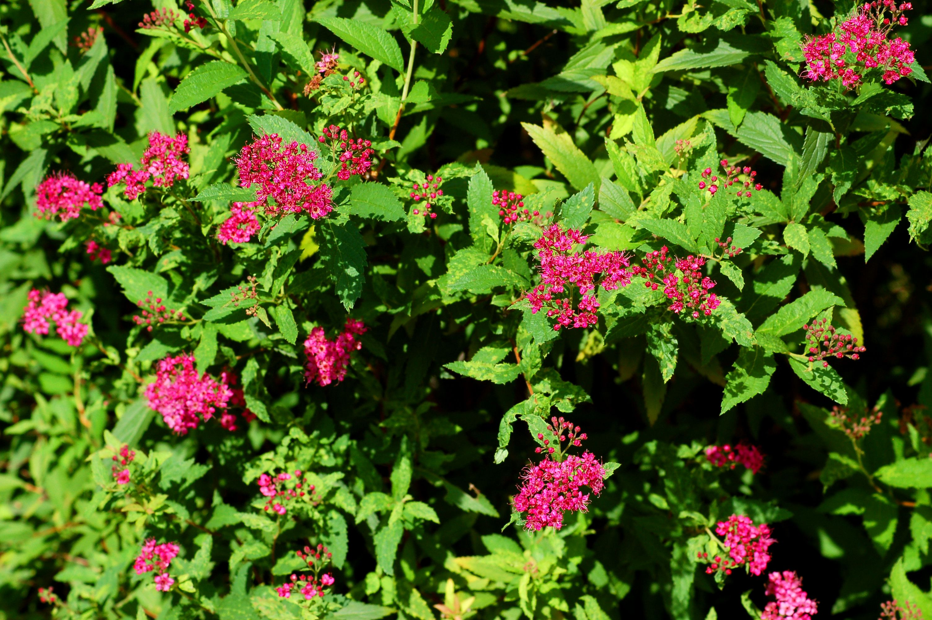 Neon Flash spirea in bloom.