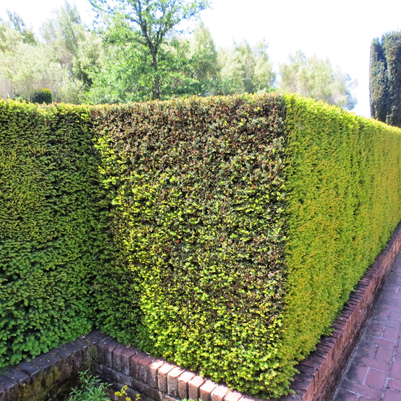 Living wall hedge cut in box shape.