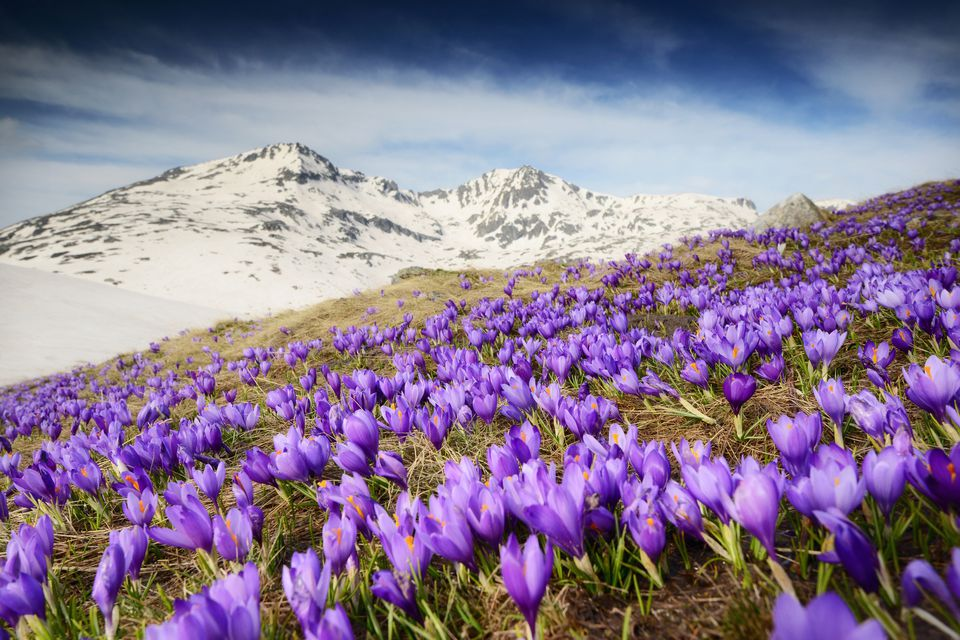 Purple crocuses blooming in the snowy mountains.