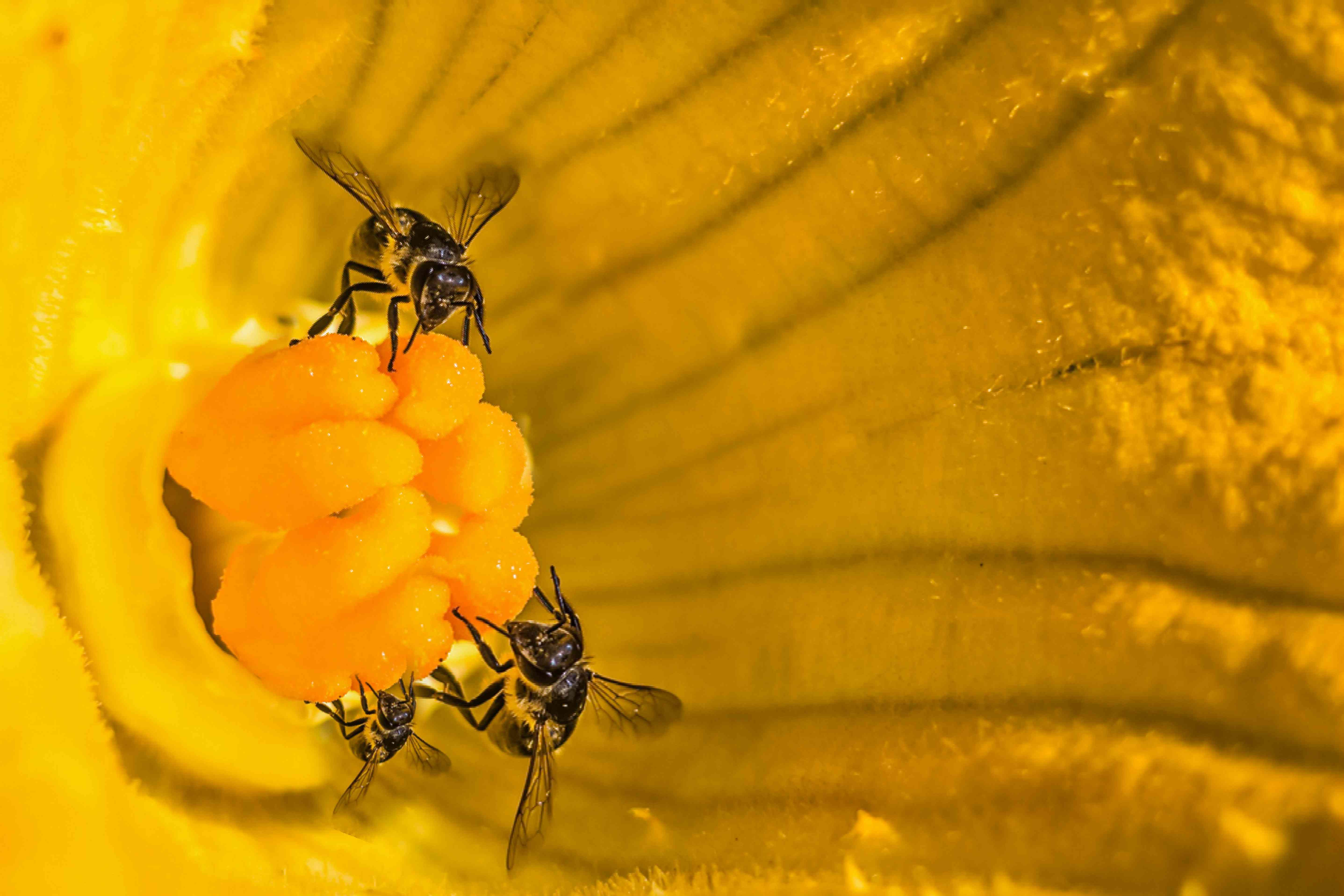 bees pollinating zucchini