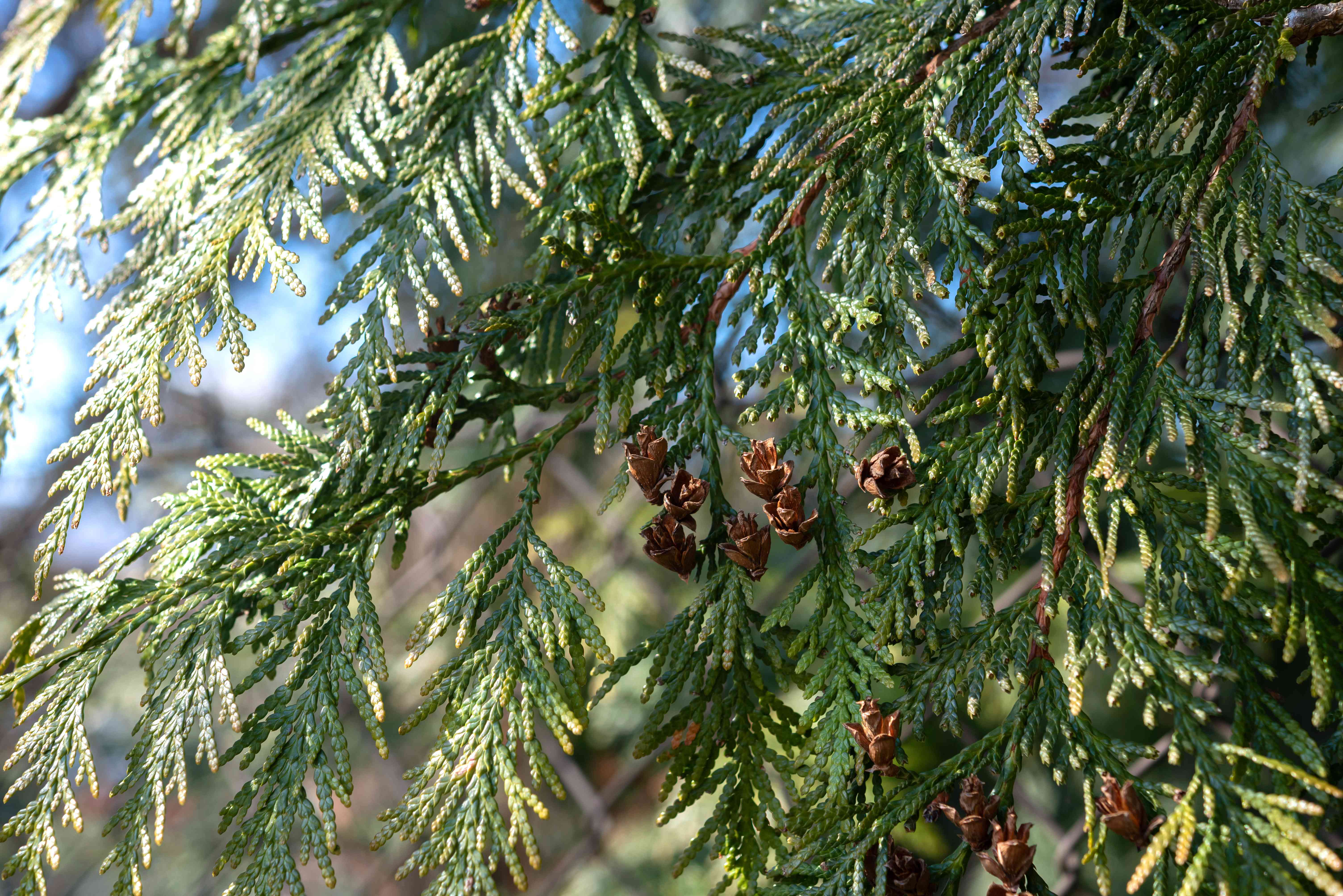 Emerald green arborvitae tree branches with pine cones on branches