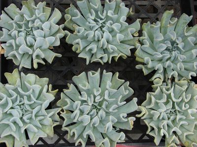 Six Echeveria 'Topsy Turvy' succulent plants.
