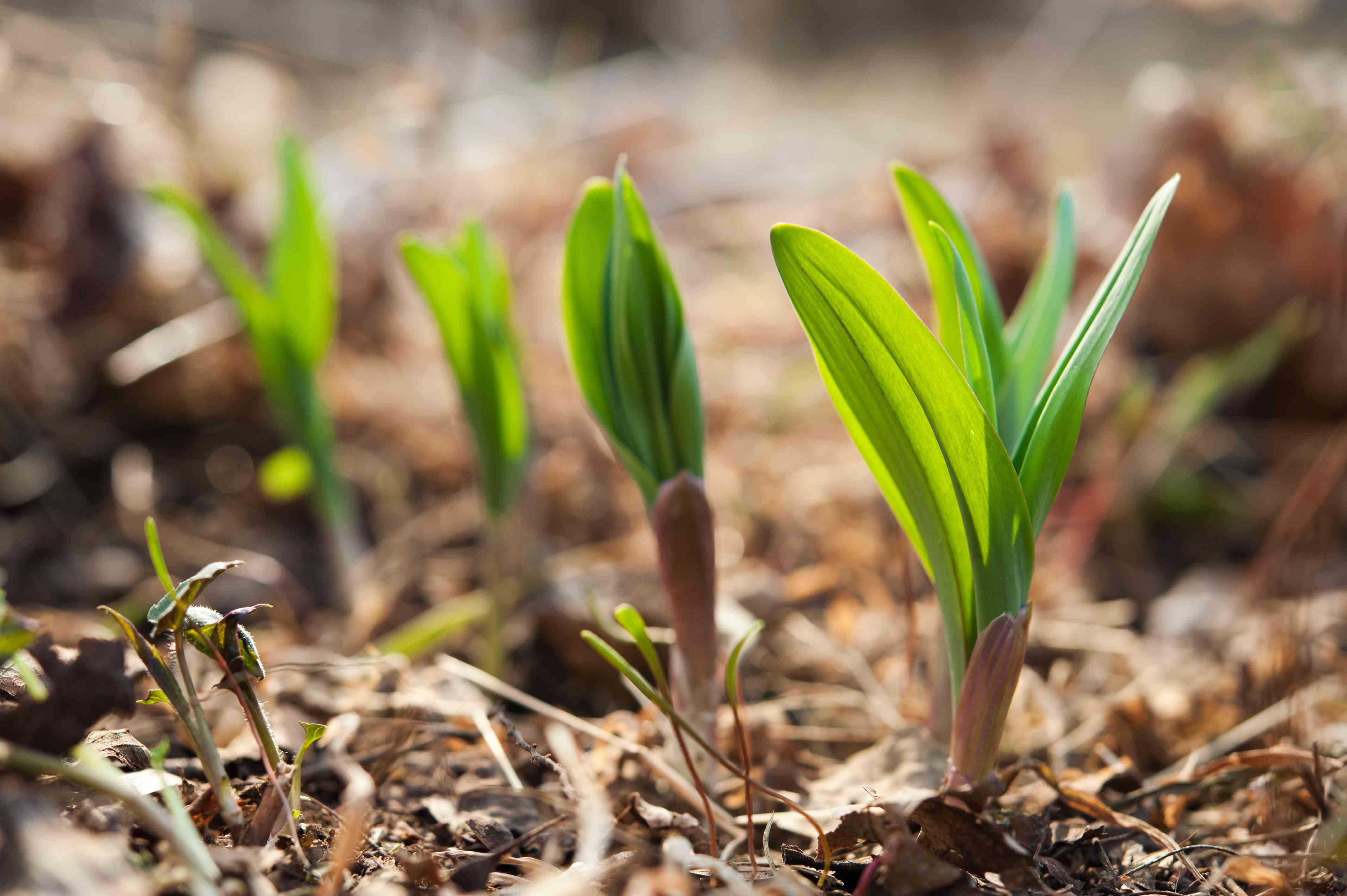 Allium tricoccum - Wild leeks