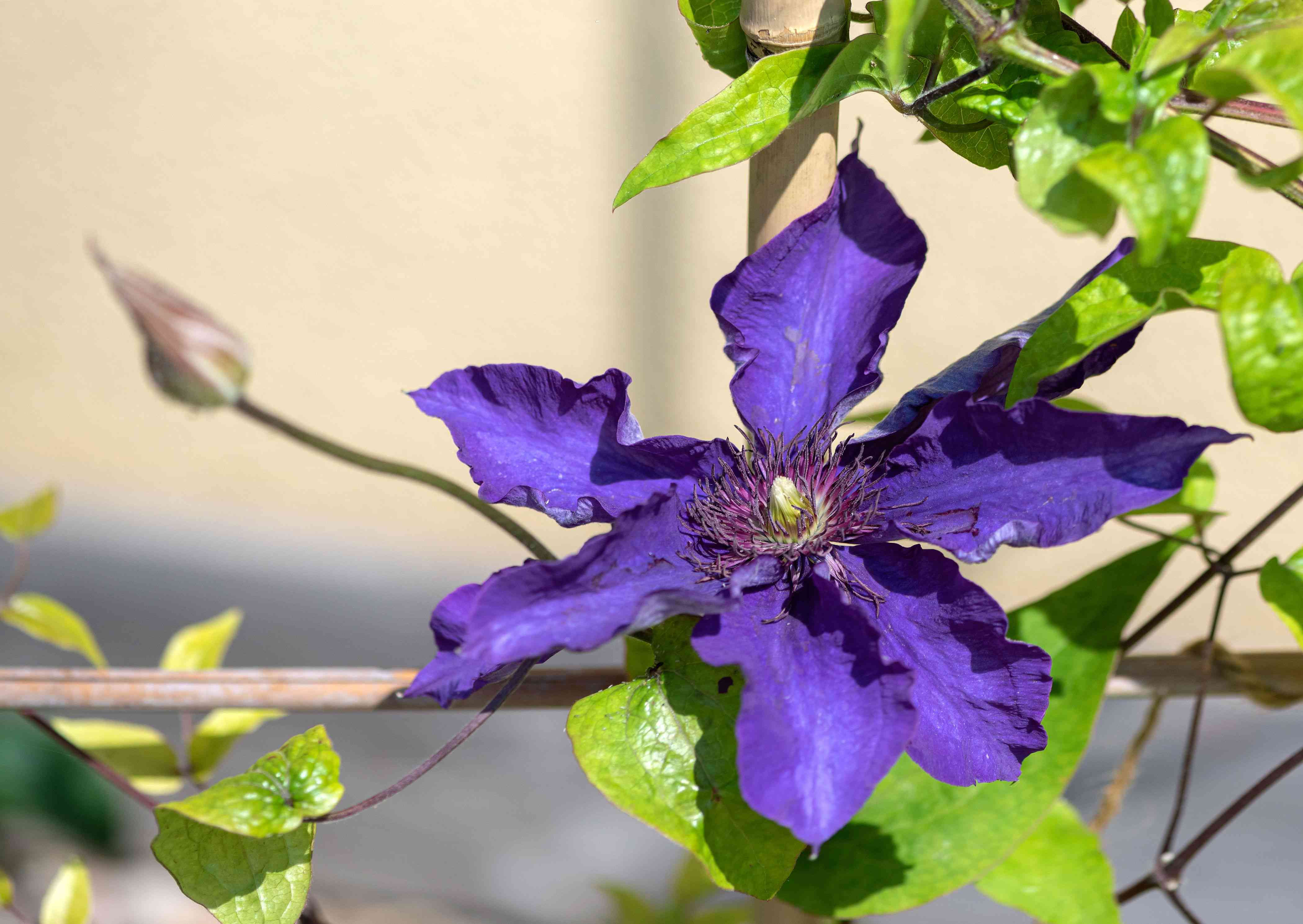 The President Clematis variety does not cause allergies