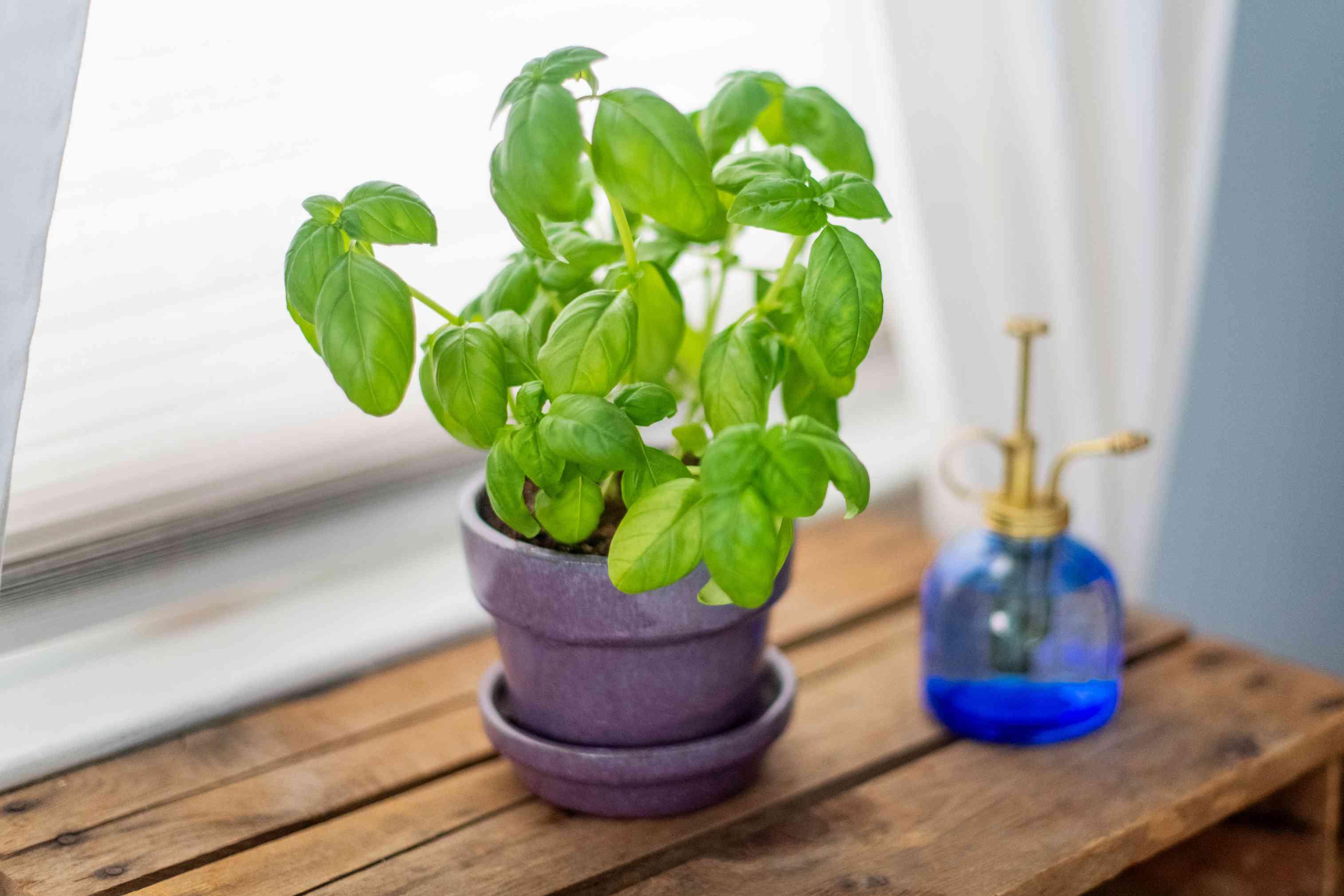 basil plant by a window