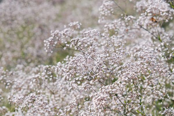 Baby's breath plants with multiple stems and white flowers in a garden