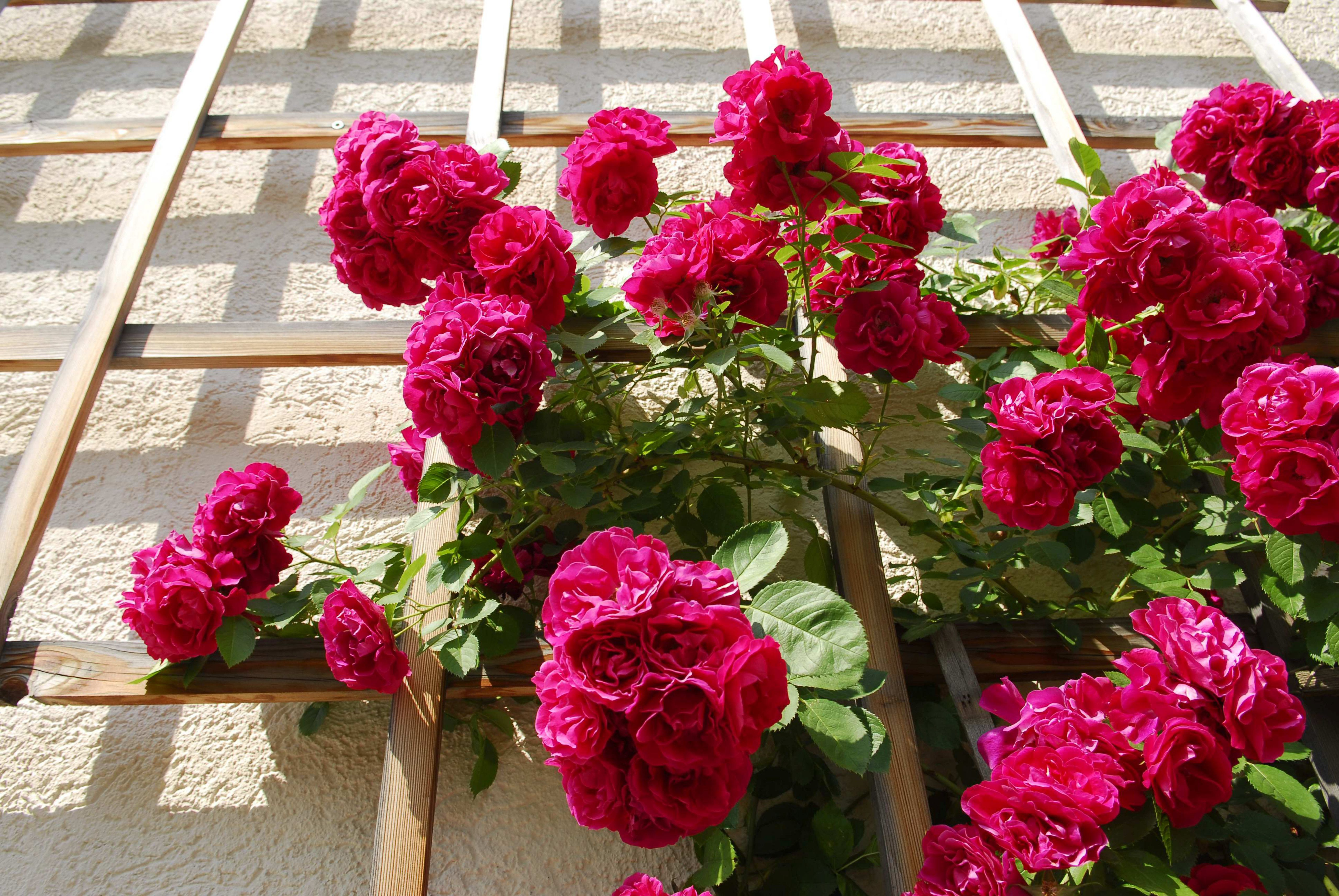 Red Rambler Roses (Rosa) on a grid at a house wall