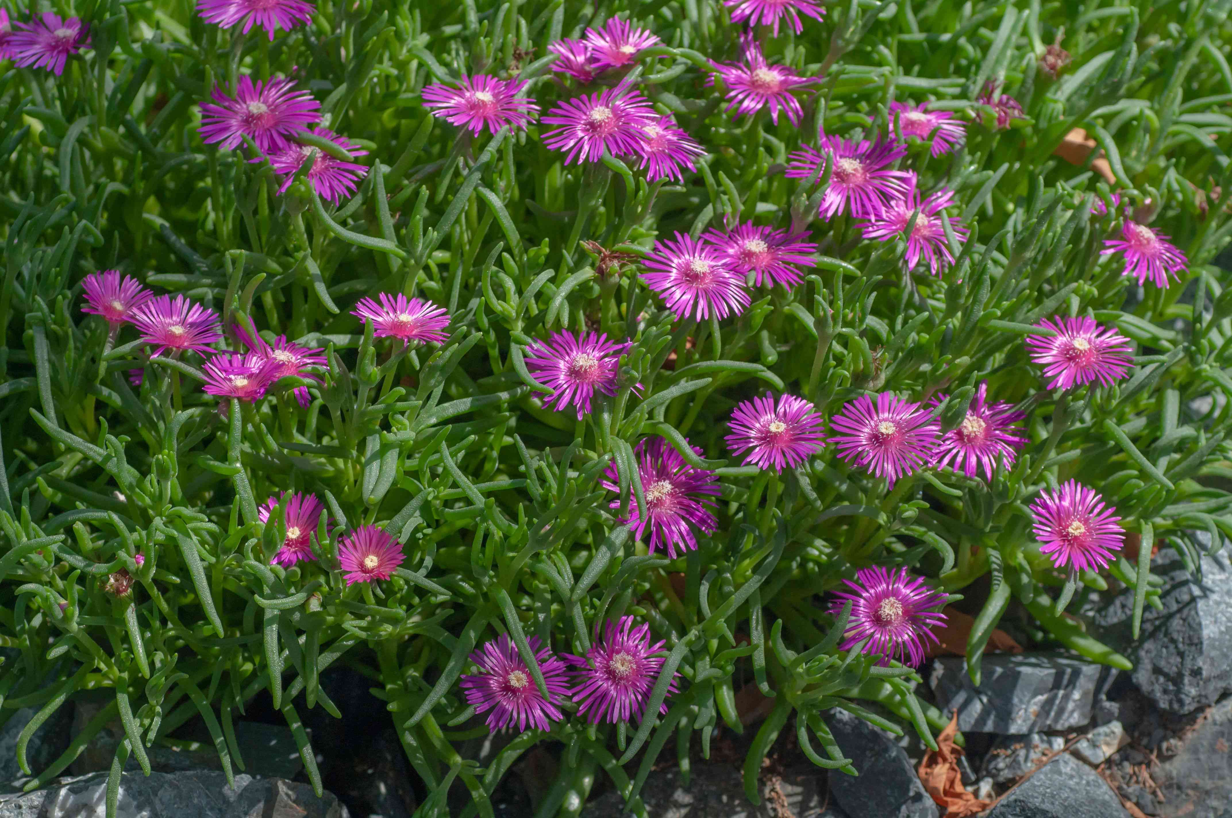 Ice plant with purple reflective flowers surrounded by tall thin leaves and rocks in sunlight