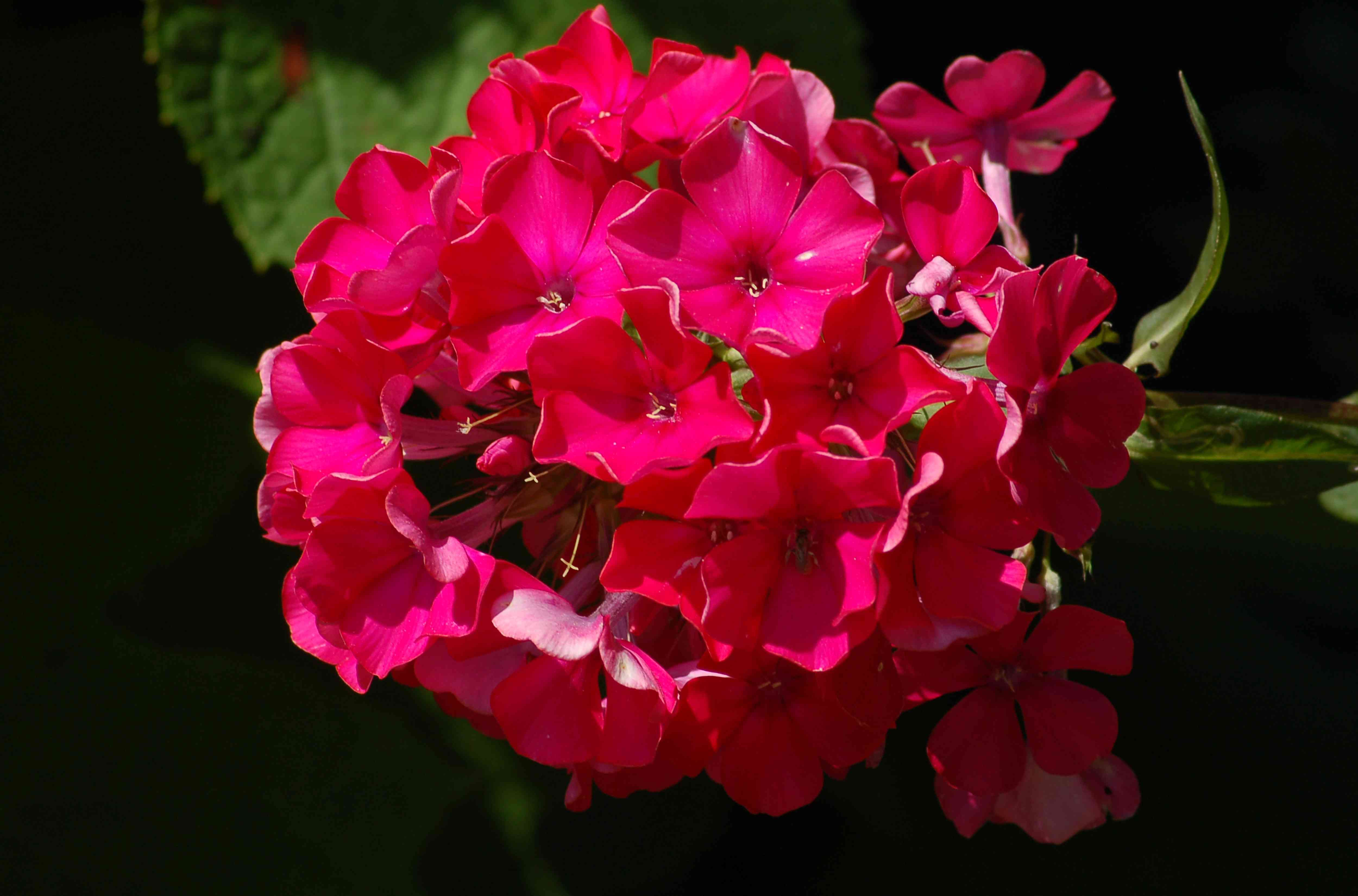 Phlox paniculata 'Starfire' with its flower head of deep pink blooms.