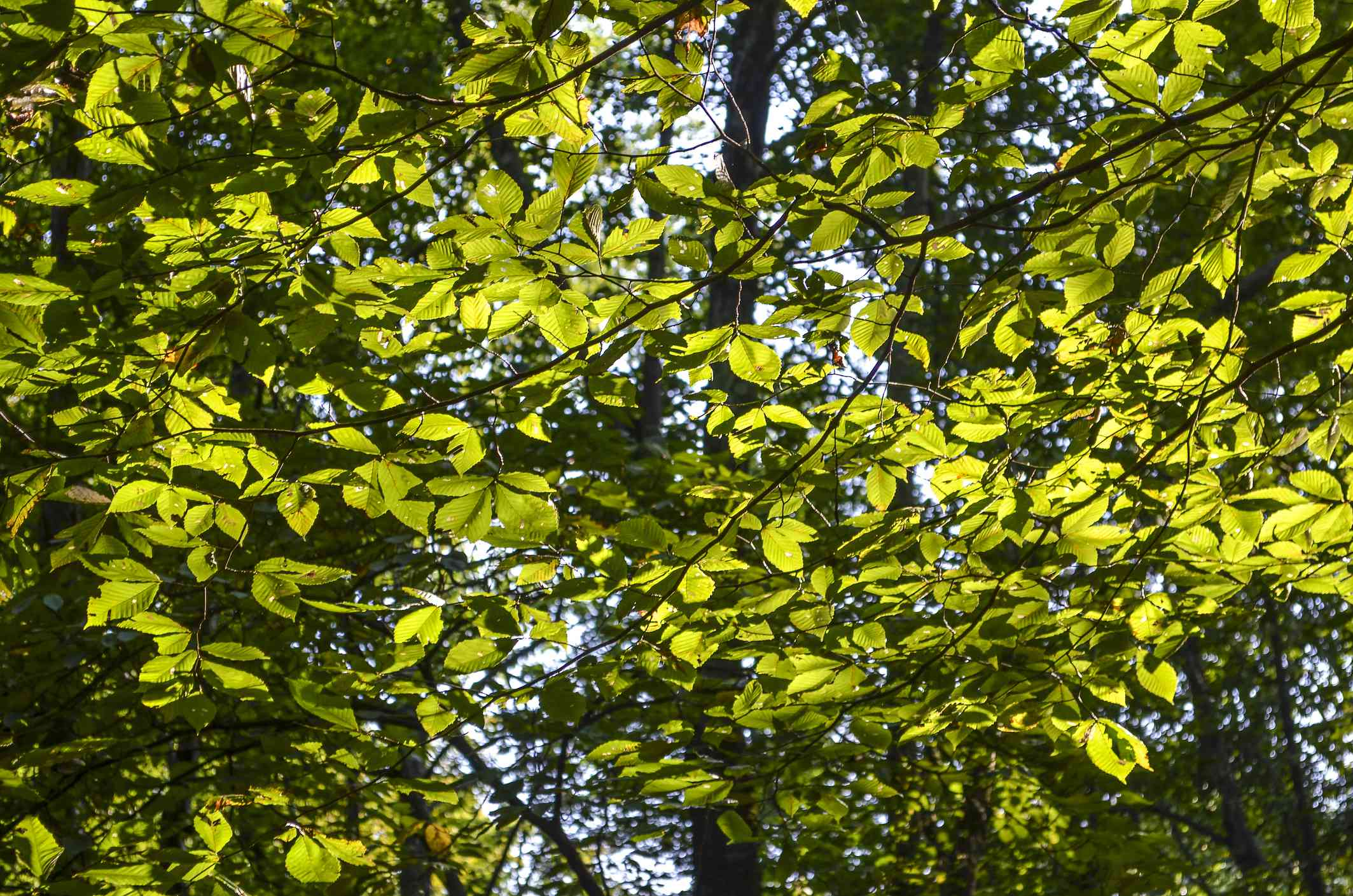 Yellow-green leaves on a slippery elm