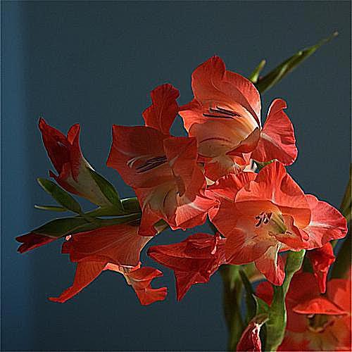 imagen de jardinería en contenedor de gladiolas 'Rosy Supreme', contenedor imagen de jardinería de plantaciones de colores brillantes en macetas de jardín