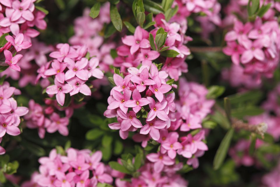 Closeup of pink flowers of Daphne cneorum shrub.