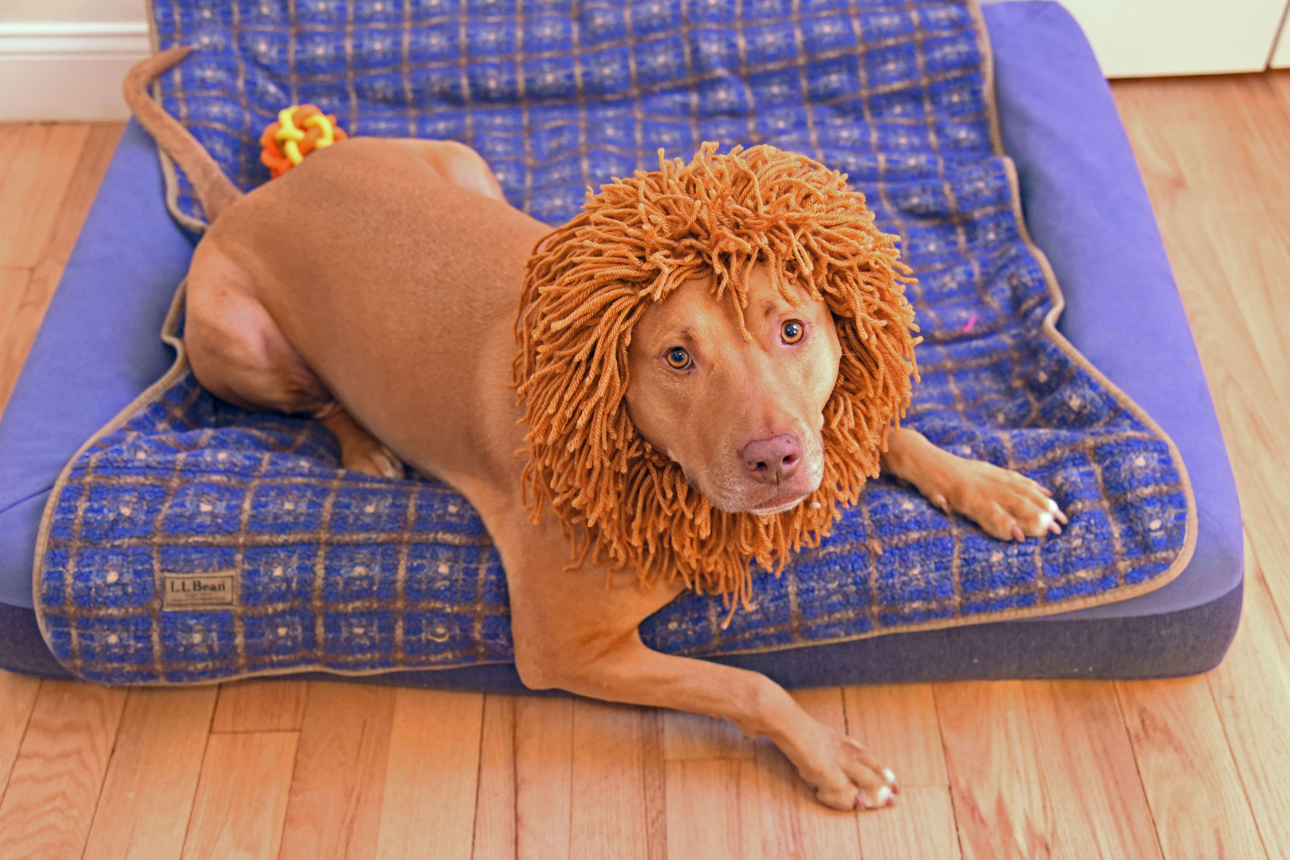 Knitted-Lion-Mane-for-Dog-Hero