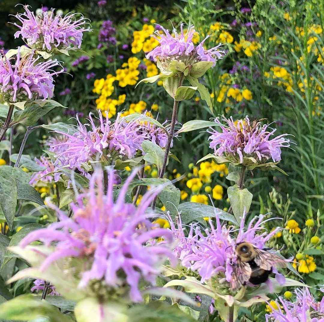 Pink bee balm with honeybee