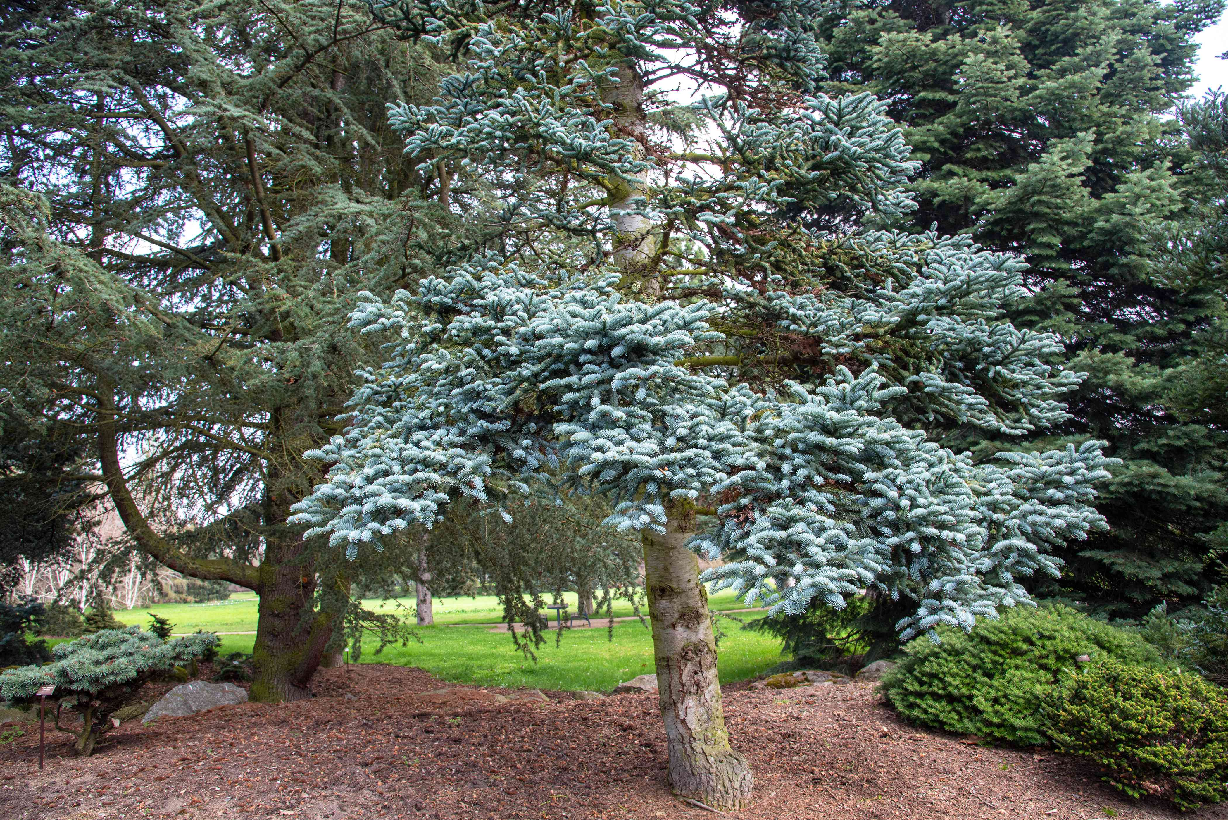 Noble fir tree in middle of landscape with bright blue-gray needles on branches
