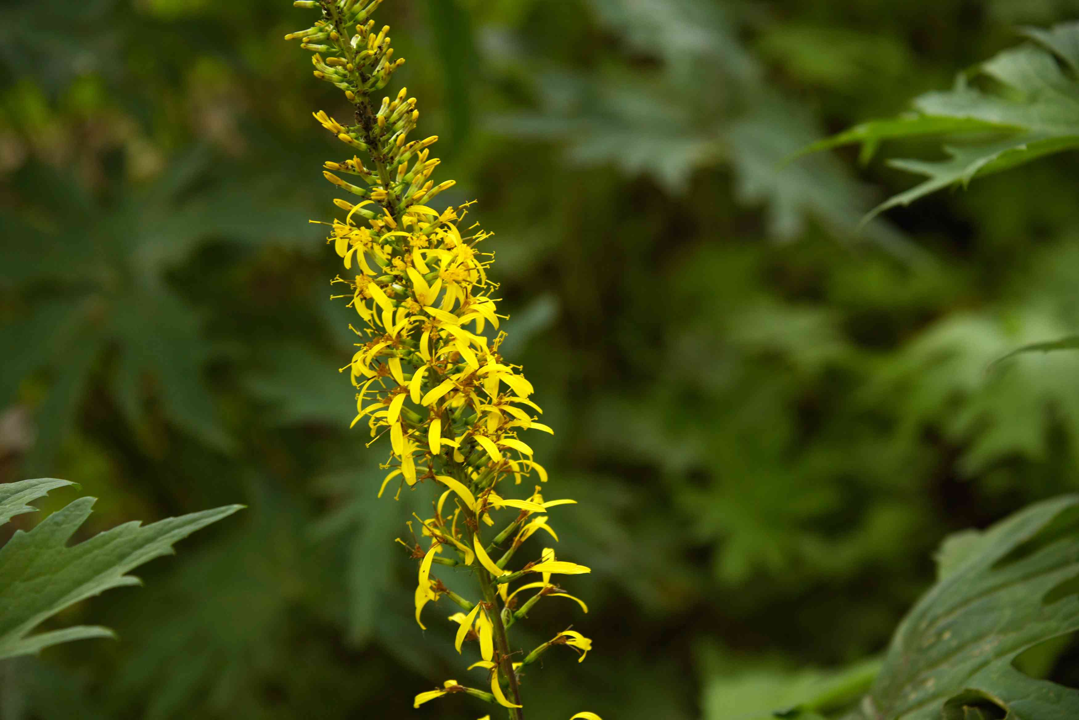 Leopard 'The Rocket' plant with small golden petal clusters on tall flower spike
