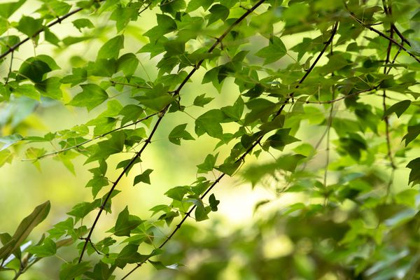 Trident maple tree branches with three-lobed leaves