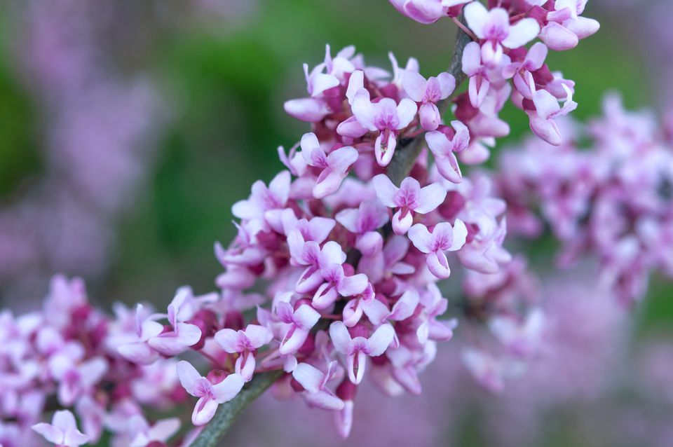 Eastern redbud tree branch with white and pink flowers closeup