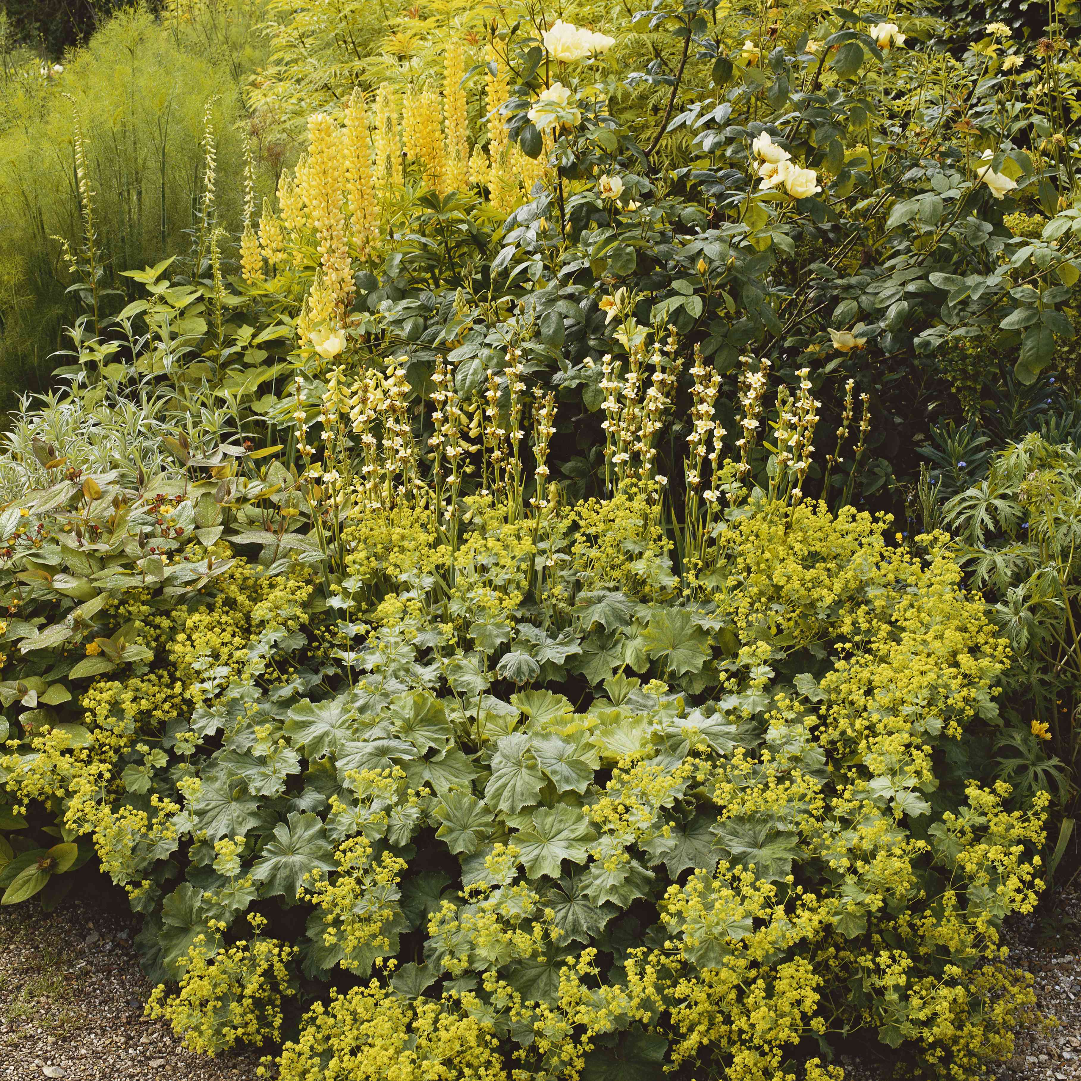 Lady's Mantle and Lupine