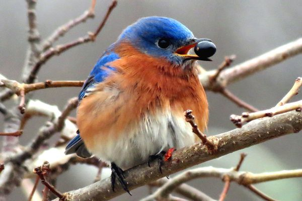 Eastern Bluebird With a Berry